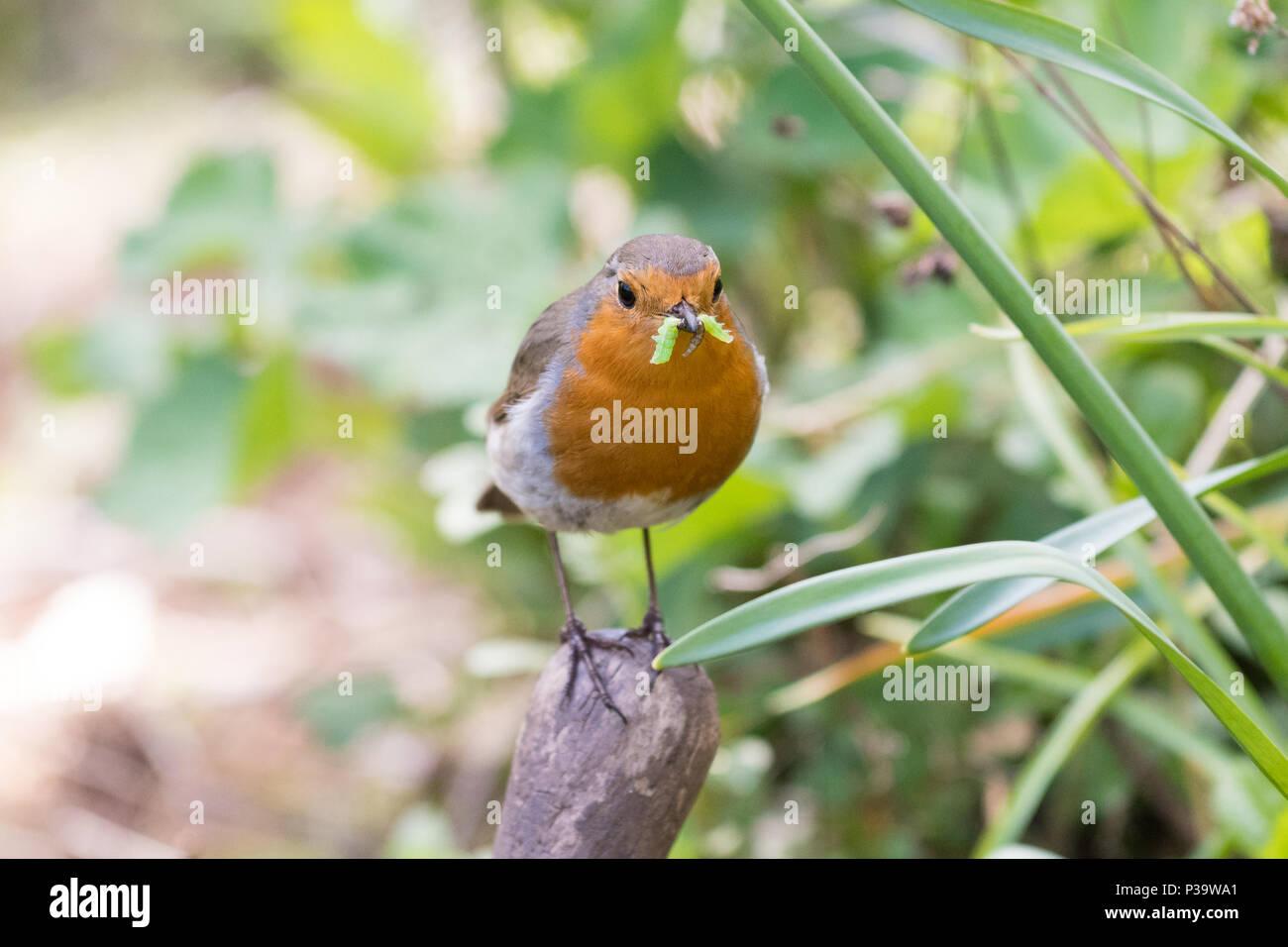 European Robin - Erithacus rubecula - with a green caterpillar in it's beak in a Scottish UK garden - Stock Image