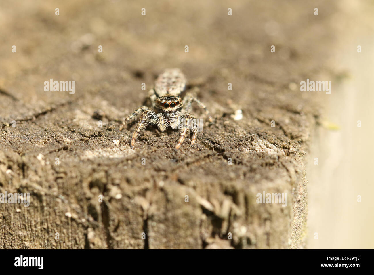 A cute Fence-Post Jumping Spider (Marpissa muscosa) on a wooden fence hunting for insects. - Stock Image