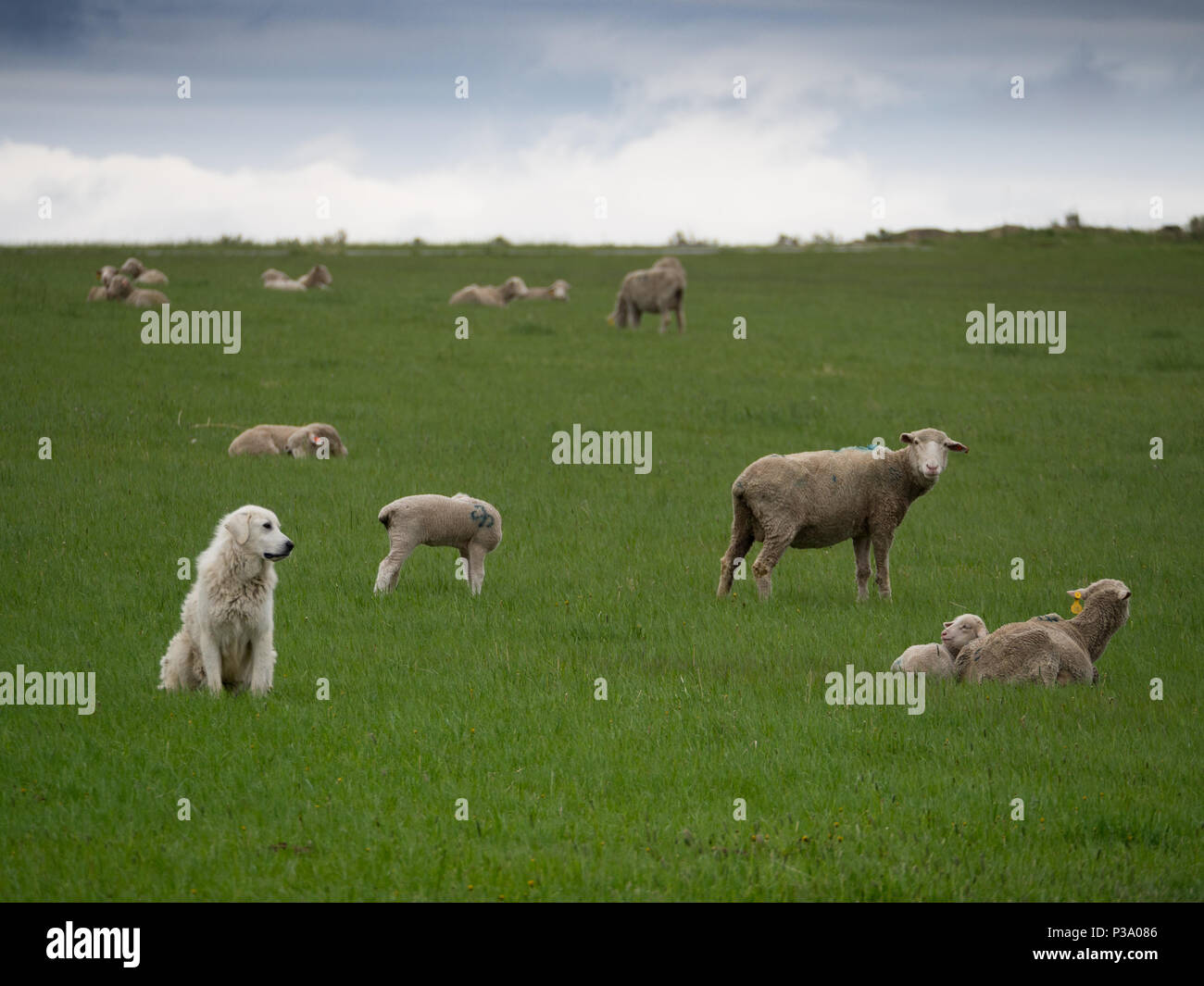 A Great Pryenees dog watching after a flock of sheep in a pasture with thick green grass. - Stock Image