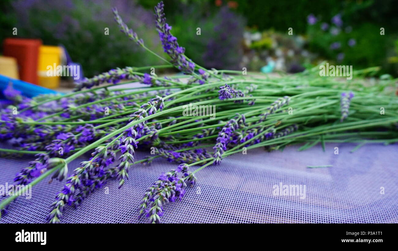 a bouquet of lavenders with blurred background - Stock Image