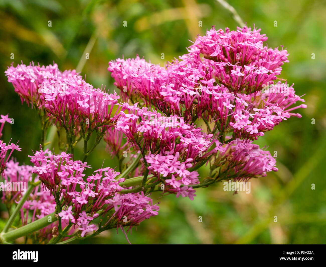 Pink Summer Flowers Of The Uk Naturalised Wildflower Centranthus
