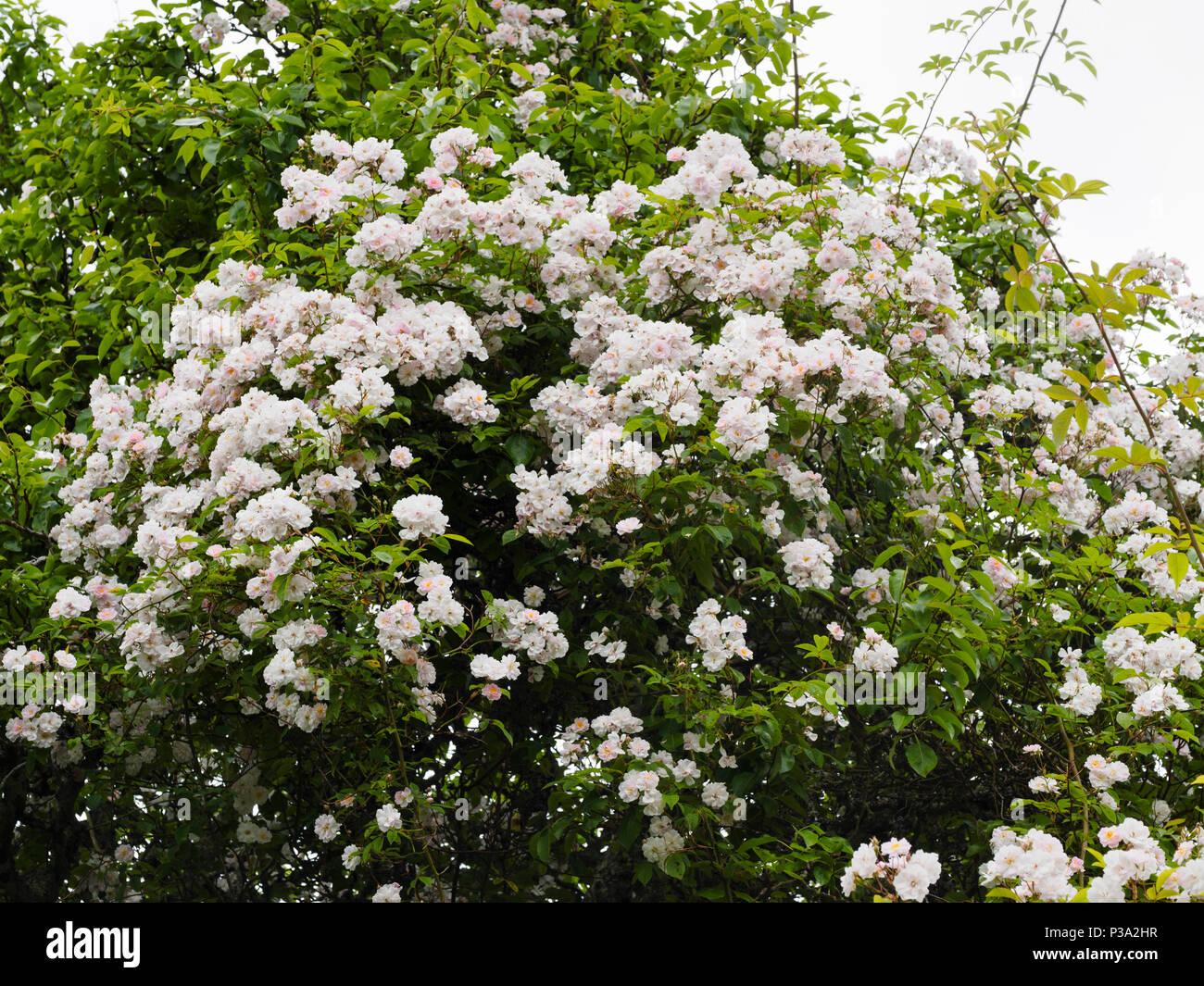 Massed flowers of the vigorous, fragrant rambler rose, Rosa 'Paul's Himalayan Musk', colonising a tree - Stock Image