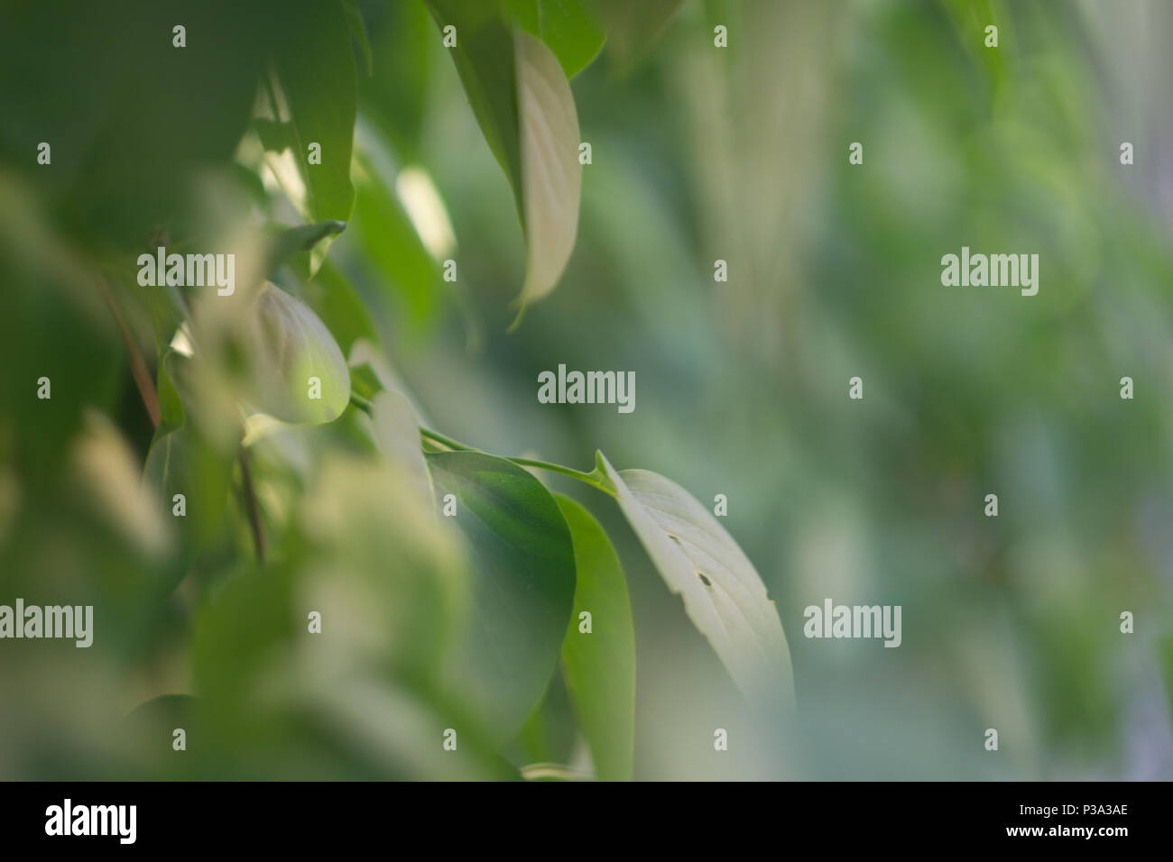 Green leaves of a tree. Has a fresh and a calming feeling. Close-up photo with a blurred background. - Stock Image