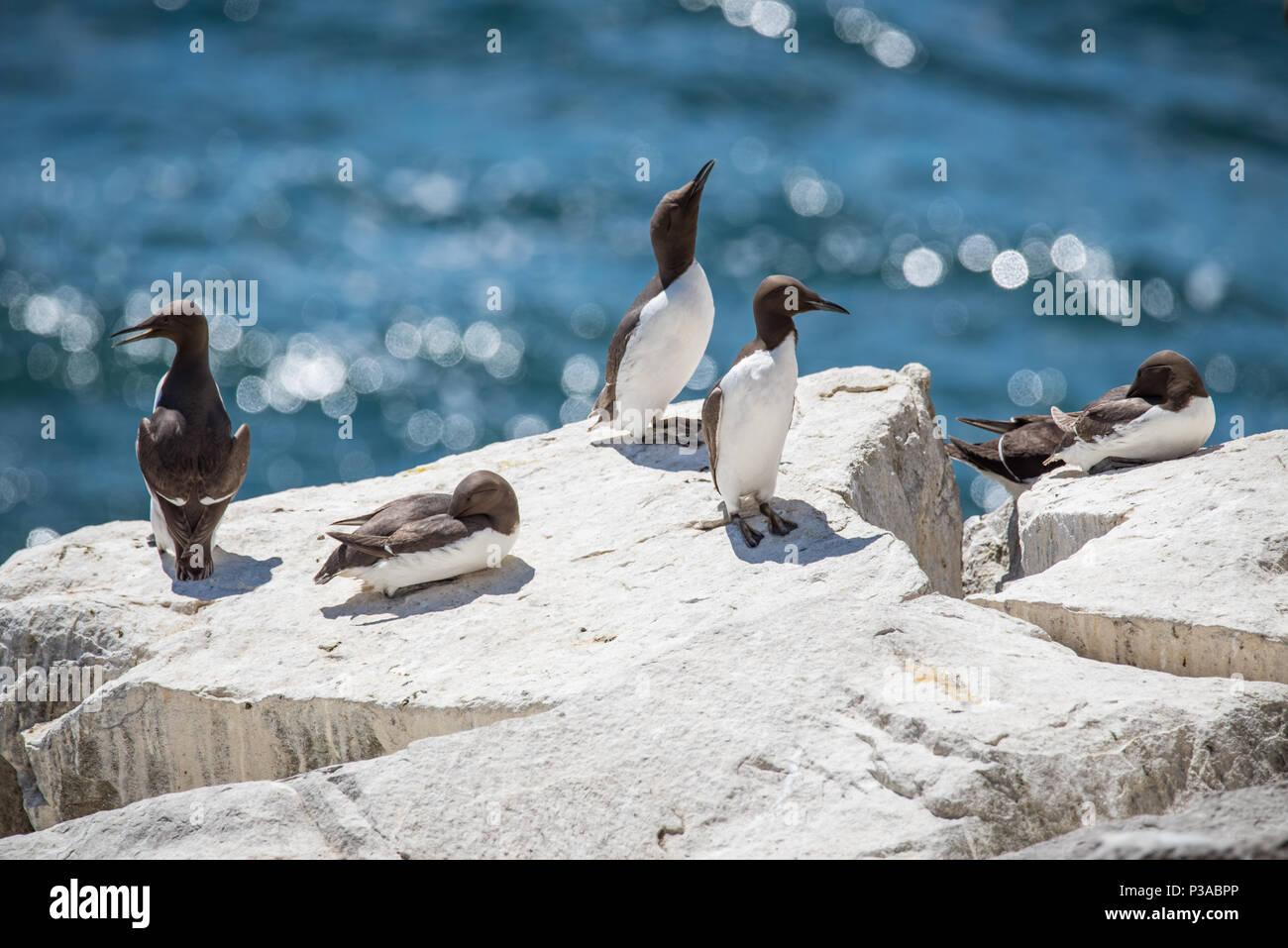 GUILLEMOT seabirds at Saltee Islands in County Wexford - Ireland - Stock Image
