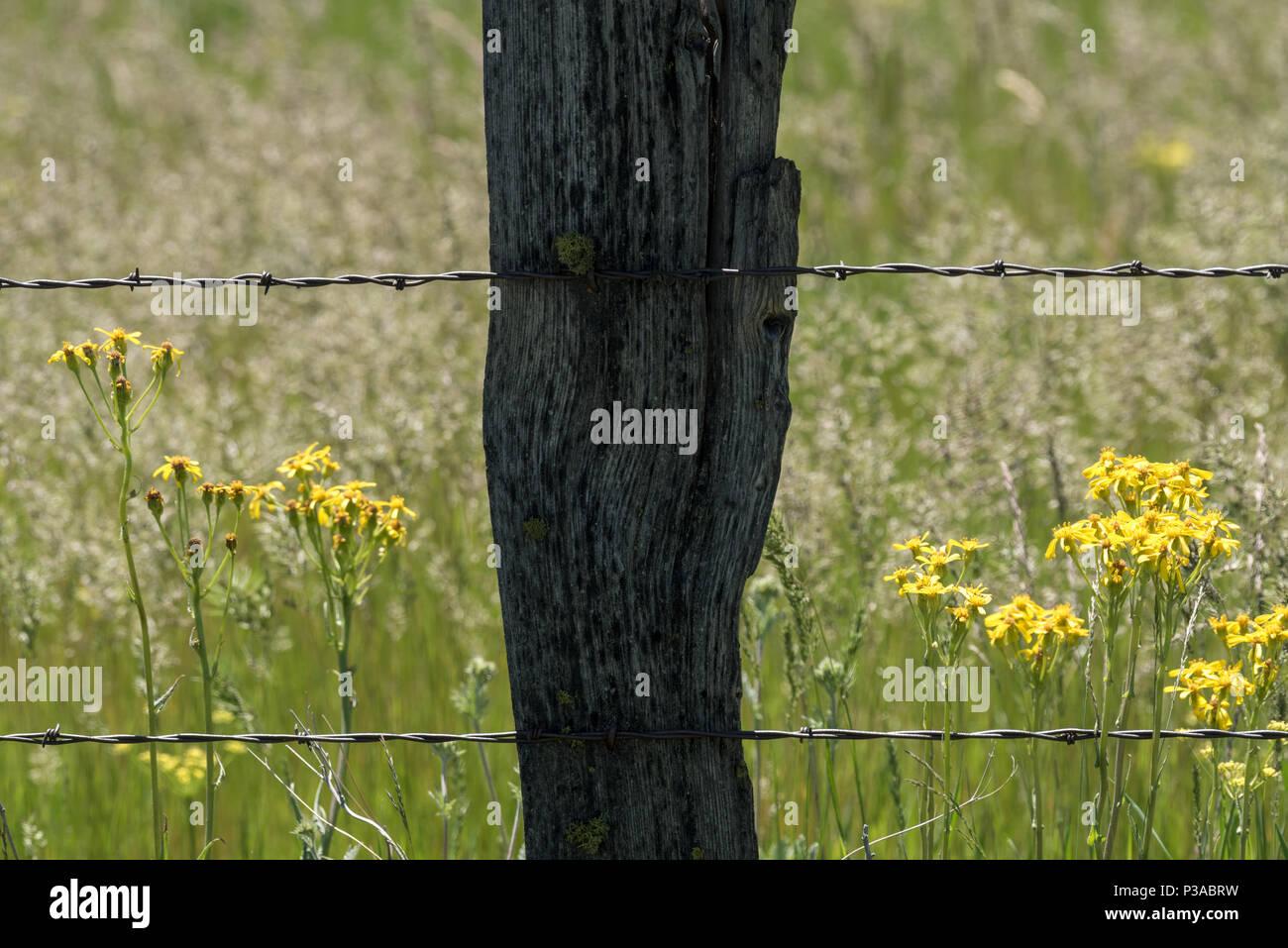 Fencepost and flowers, Zumwalt Prairie, Oregon. - Stock Image