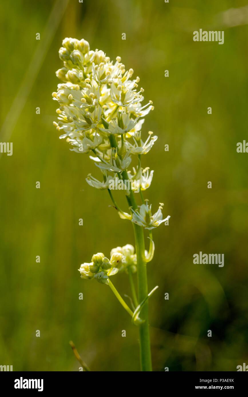 Death camas flowering on the Wallowa Lake moraine in Northeast Oregon. - Stock Image
