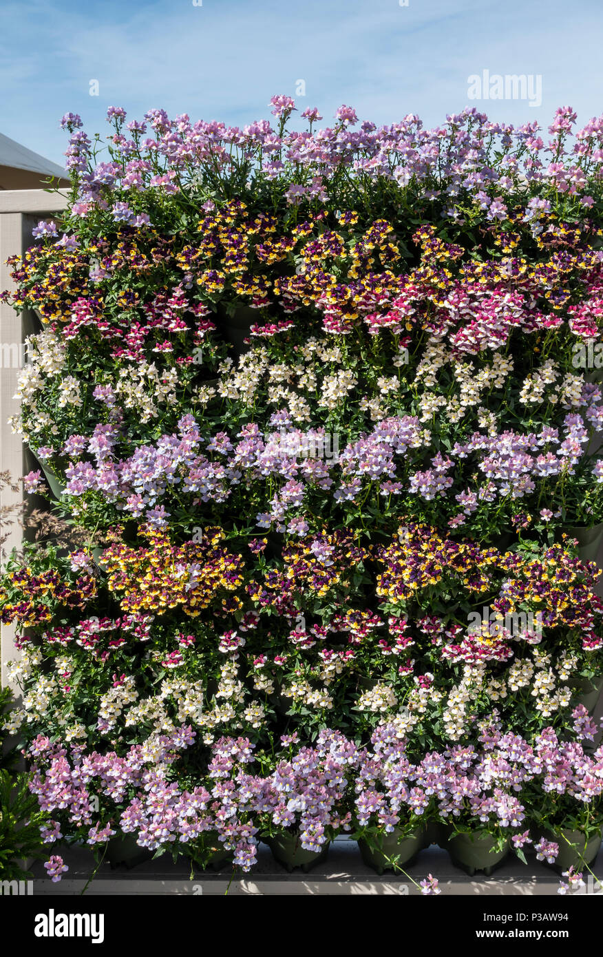 A living wall consisting of rows of  colourful bedding plants; Gardeners' World Live Show, NEC, Birmingham, England, UK - Stock Image