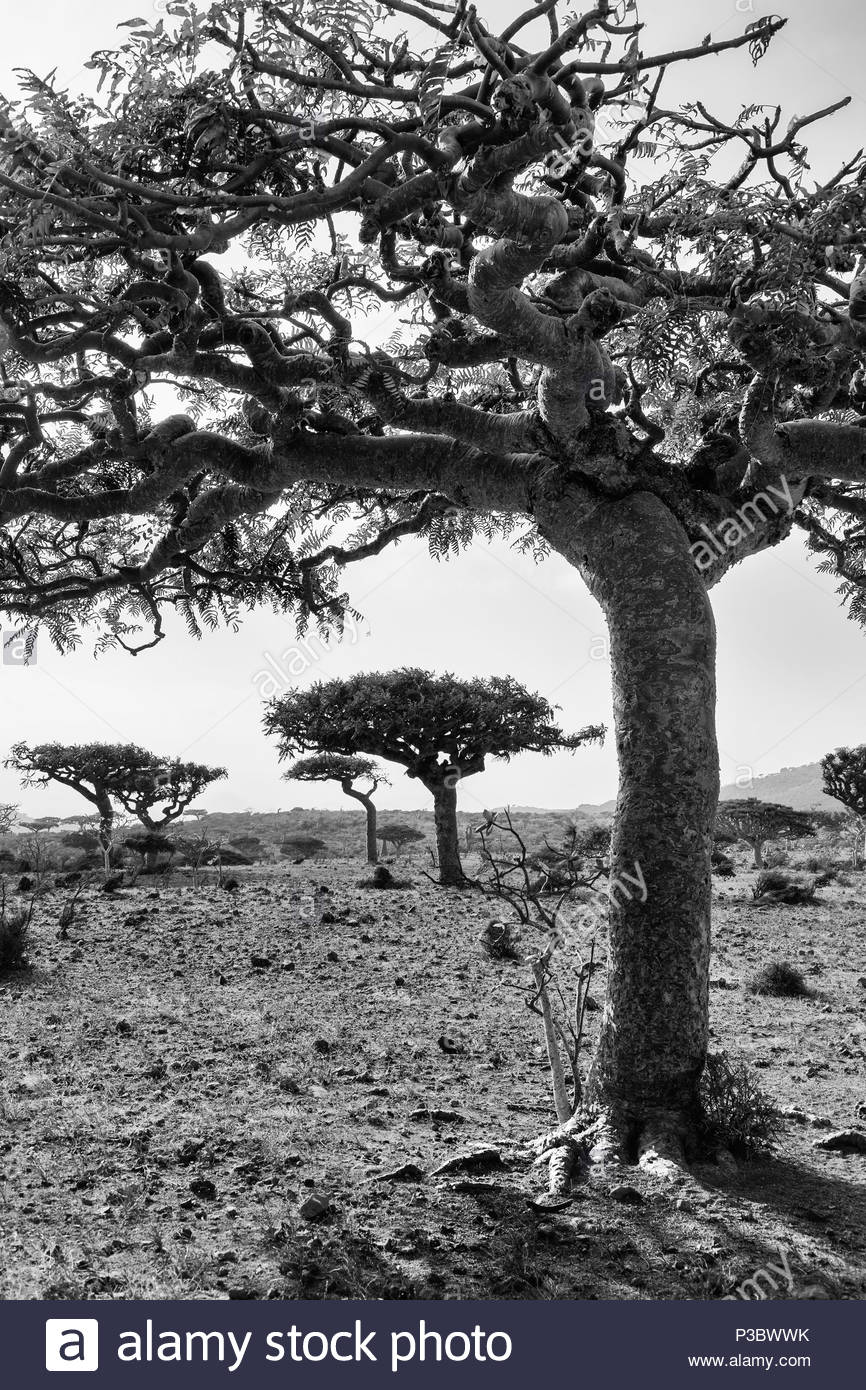 Frankincense Trees - Boswellia socotrana - Stock Image