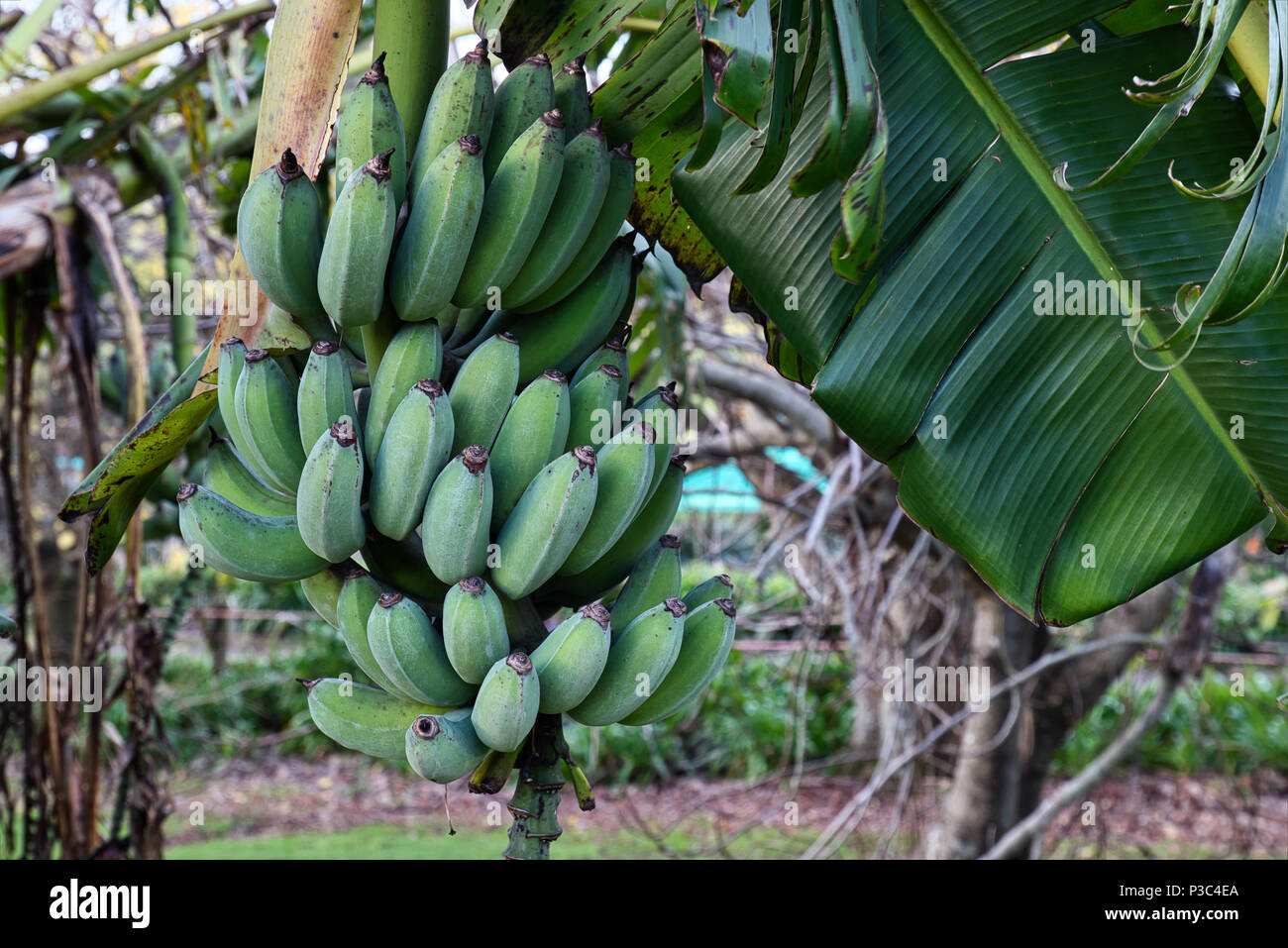 A banana tree with fruit in a home garden in winter in New
