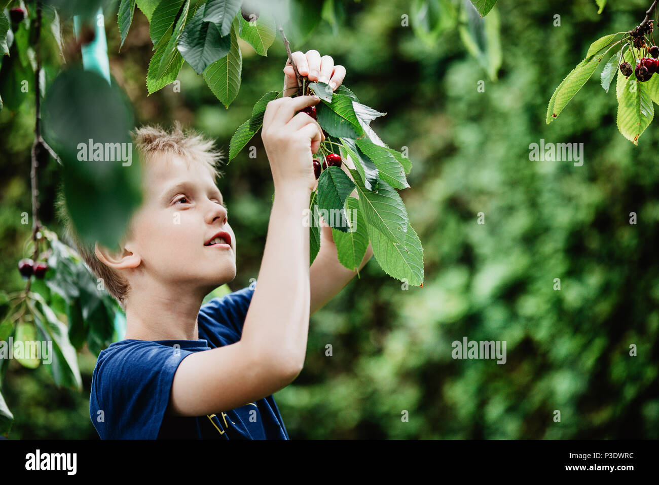 Young boy 7-9 years old picking red ripe cherries direct from the cherry tree in the garden. Green background, copy space - Stock Image