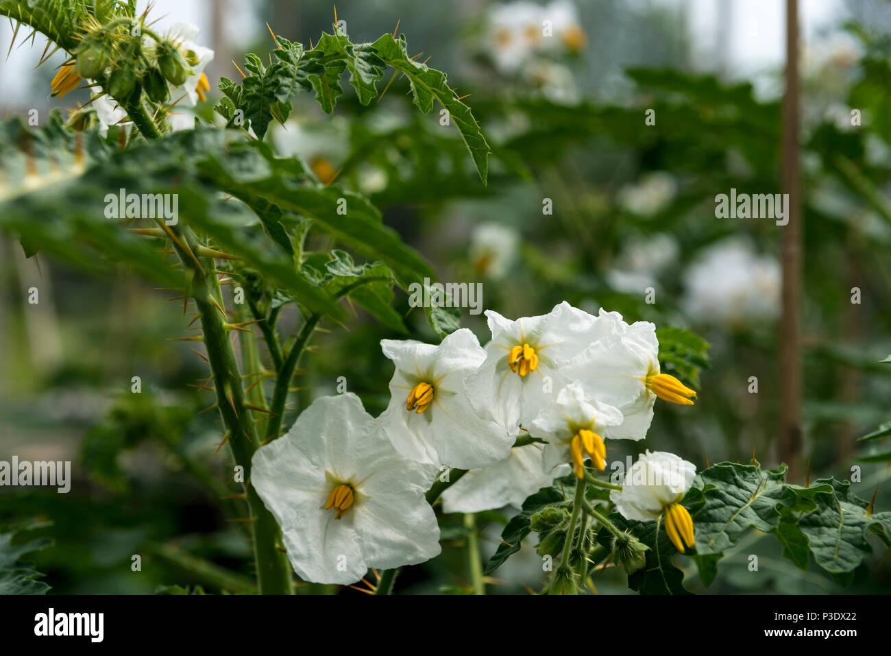 Solanum sisymbriifolium solanaceae south amrican white flowered solanum sisymbriifolium solanaceae south amrican white flowered plant mightylinksfo