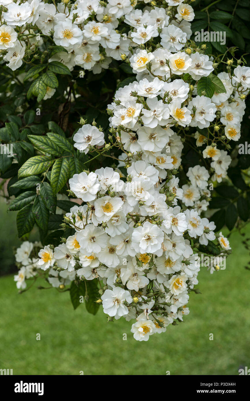 Rosa Seagull white flowered rambling rose, large prolific flowerer. - Stock Image