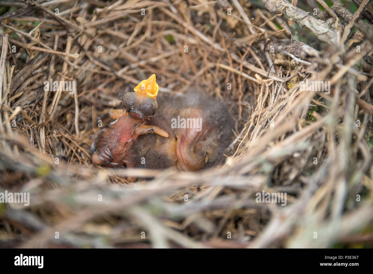 Newborn bird with mouth open in nest. - Stock Image