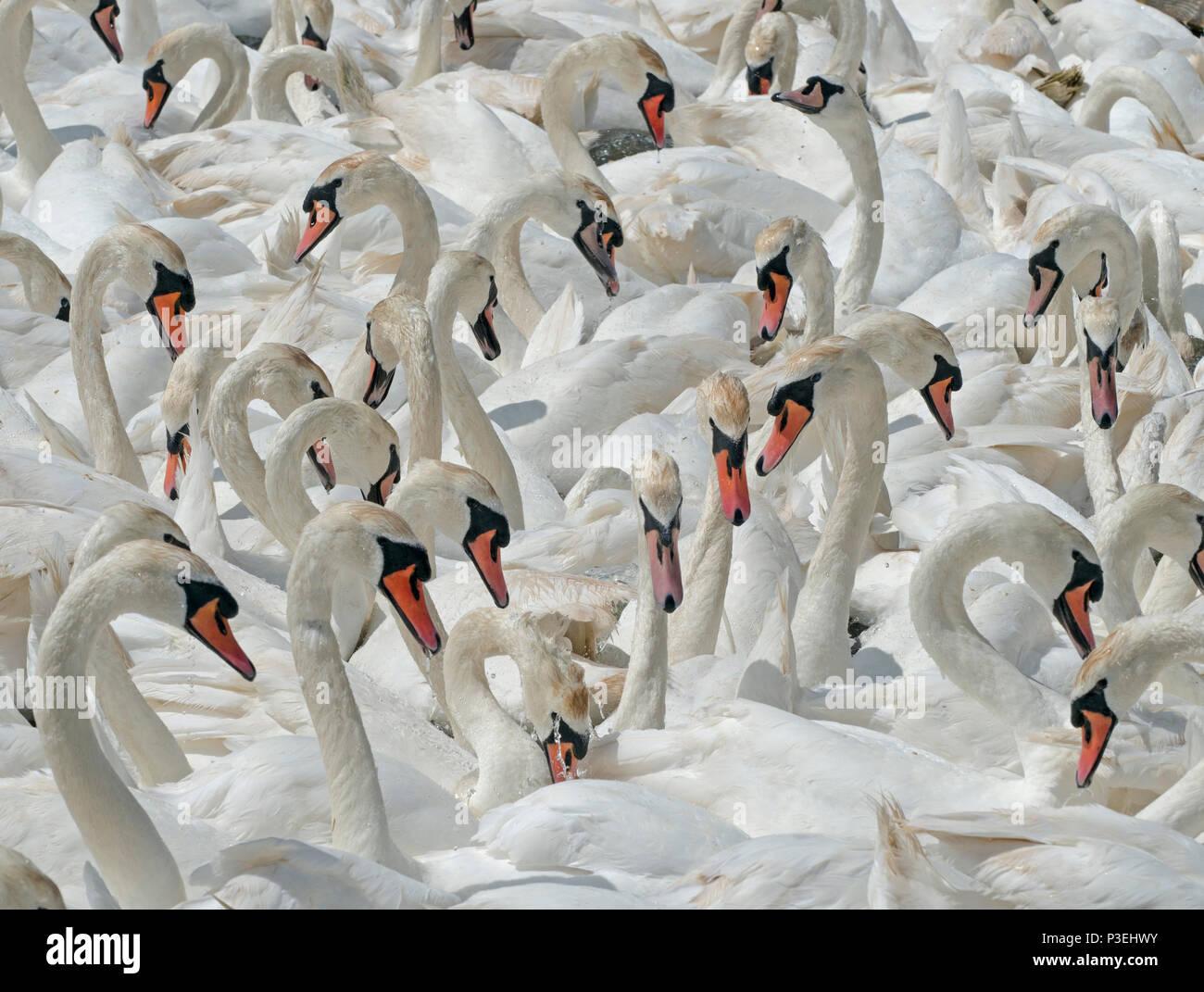 Mute Swans Cygnus olar flock of non breeding adults Fleet lagoon Dorset - Stock Image