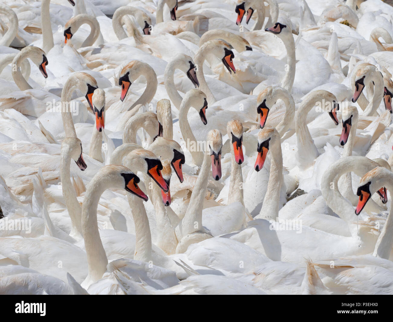 Mute Swans Cygnus olar flock of non breeding adults Fleet lagoon Dorset Stock Photo