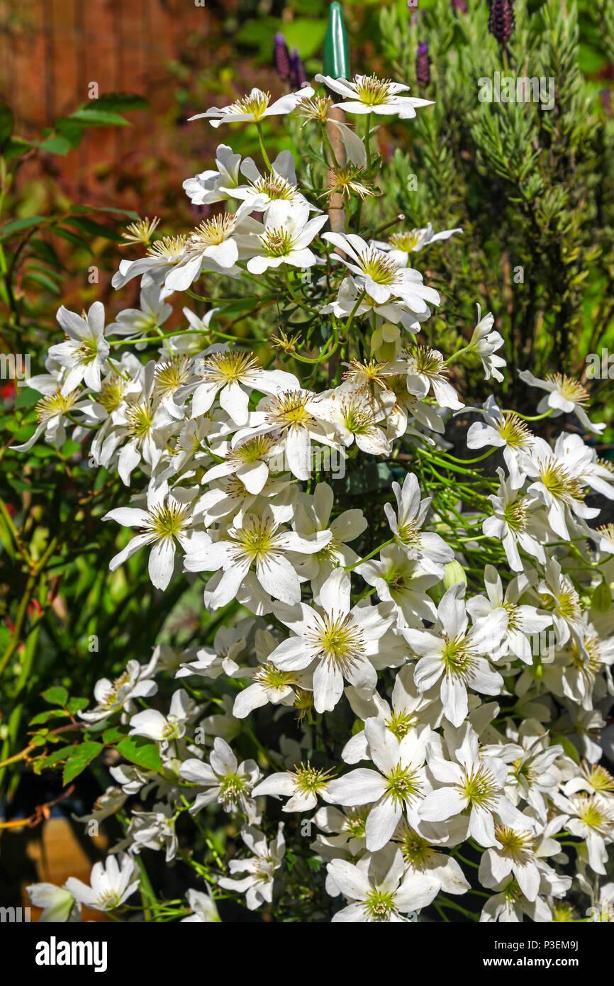 Clematis 'White Abundance' climbing flower - Stock Image