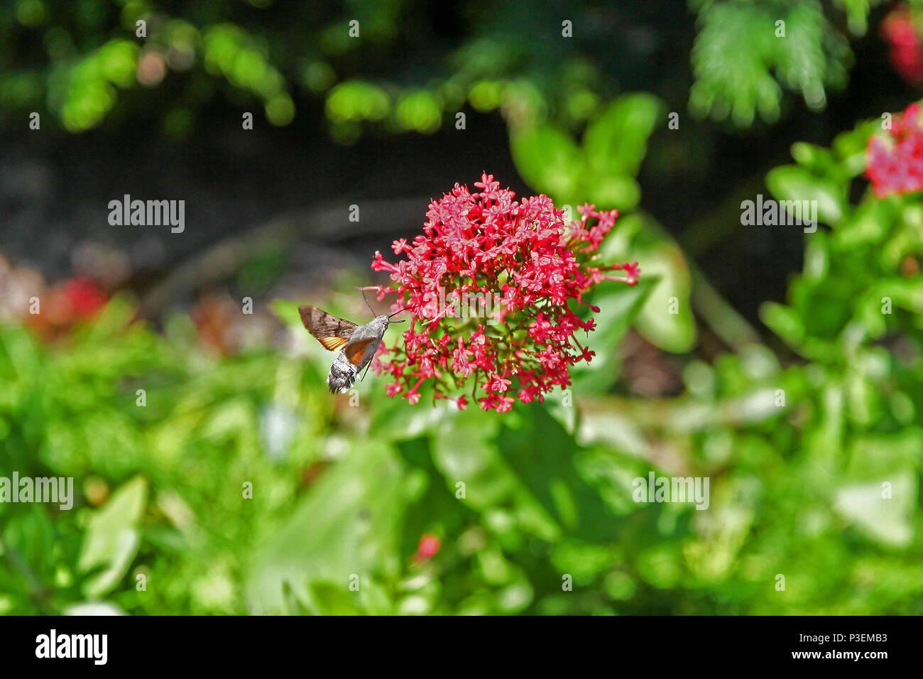 A Hummingbird hawk moth (Macroglossum stellatarum) hovering next to a Red Valerian (Centranthus ruber) flower - Stock Image