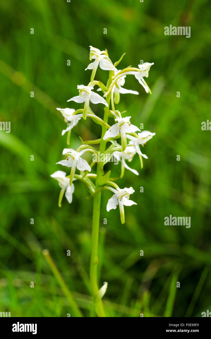 Greater Butterfly Orchid (Platanthera chlorantha) or Lesser Butterfly Orchid (Platanthera bifolia) - Stock Image