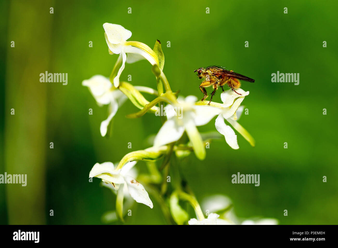 A Yellow Dung-Fly (Scathophaga stercoraria) on a Greater Butterfly Orchid (Platanthera chlorantha) or Lesser Butterfly Orchid (Platanthera bifolia) - Stock Image