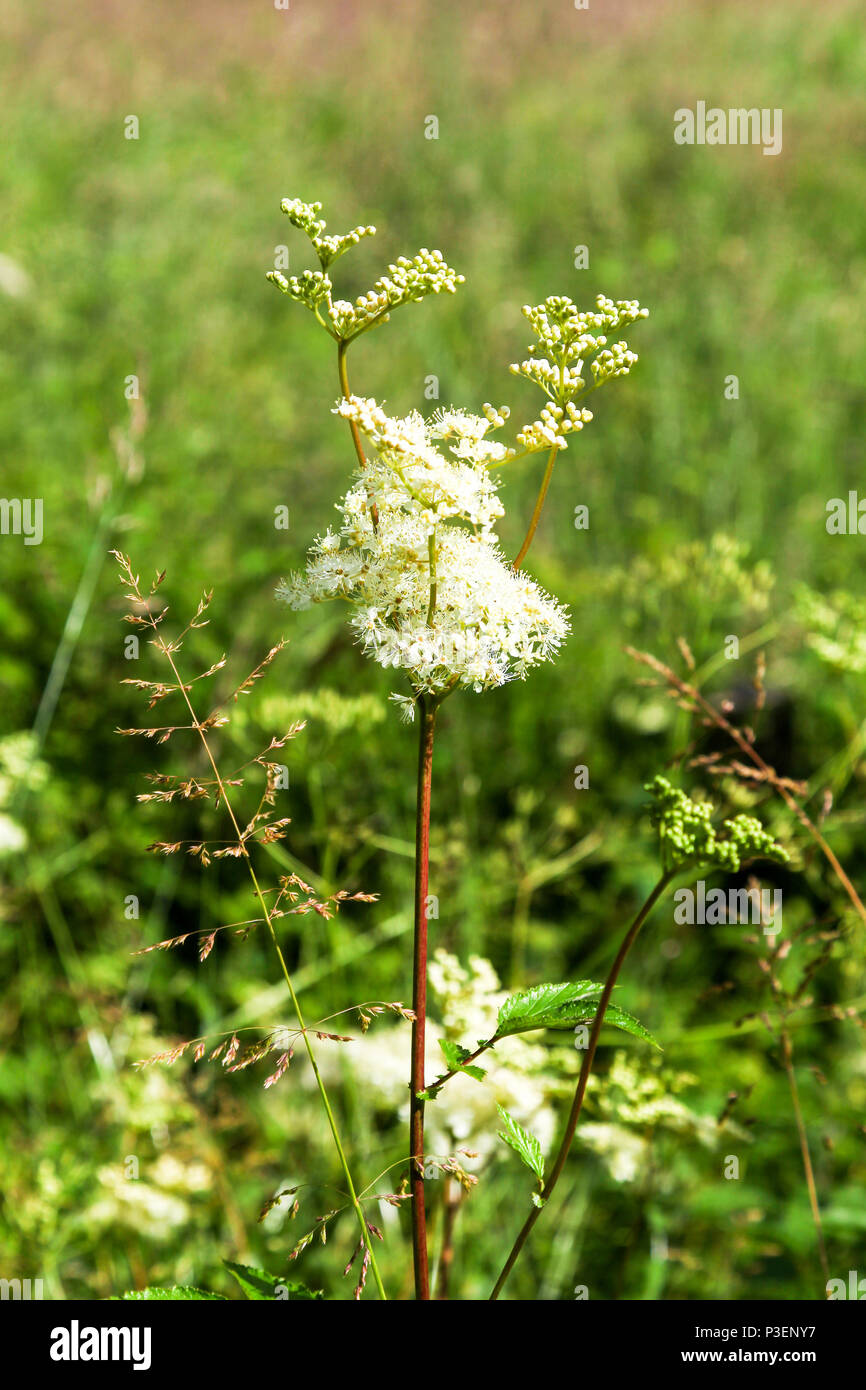 The white flowers of Meadowsweet or mead wort, a perennial herb in the family Rosaceae that grows in damp meadows - Stock Image