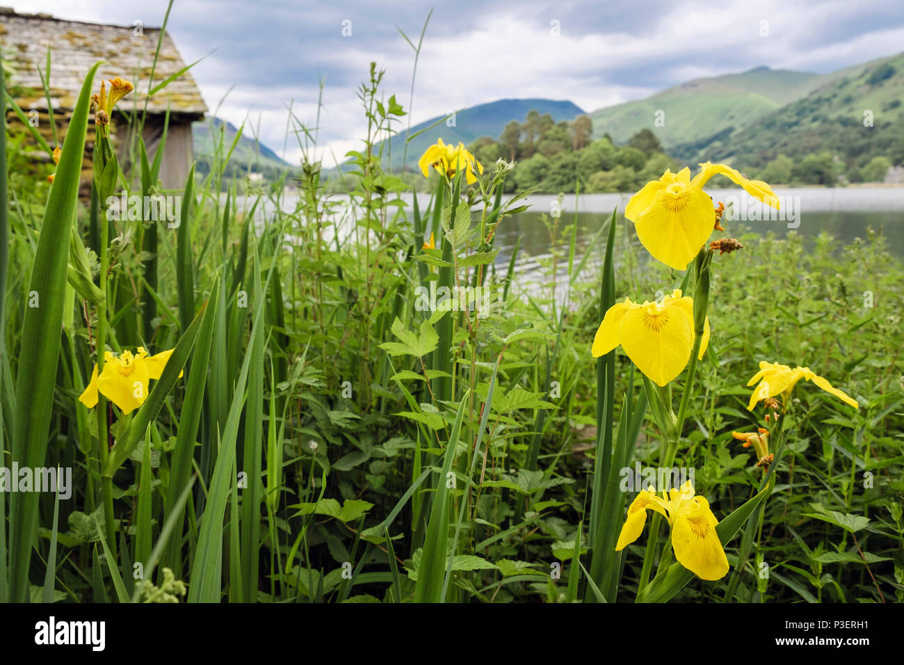 Flowers of Yellow Flag Iris (Iris pseudacorus) growing wild beside Grasmere lake boathouse in summer. Cumbria Lake District National Park England UK - Stock Image