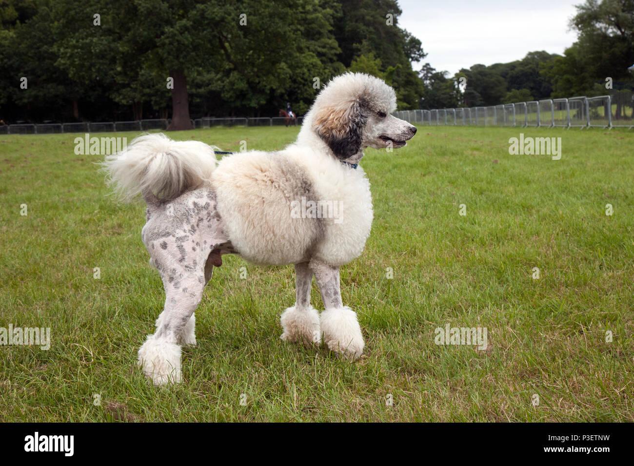 Poodle Trim Stock Photos Poodle Trim Stock Images Alamy
