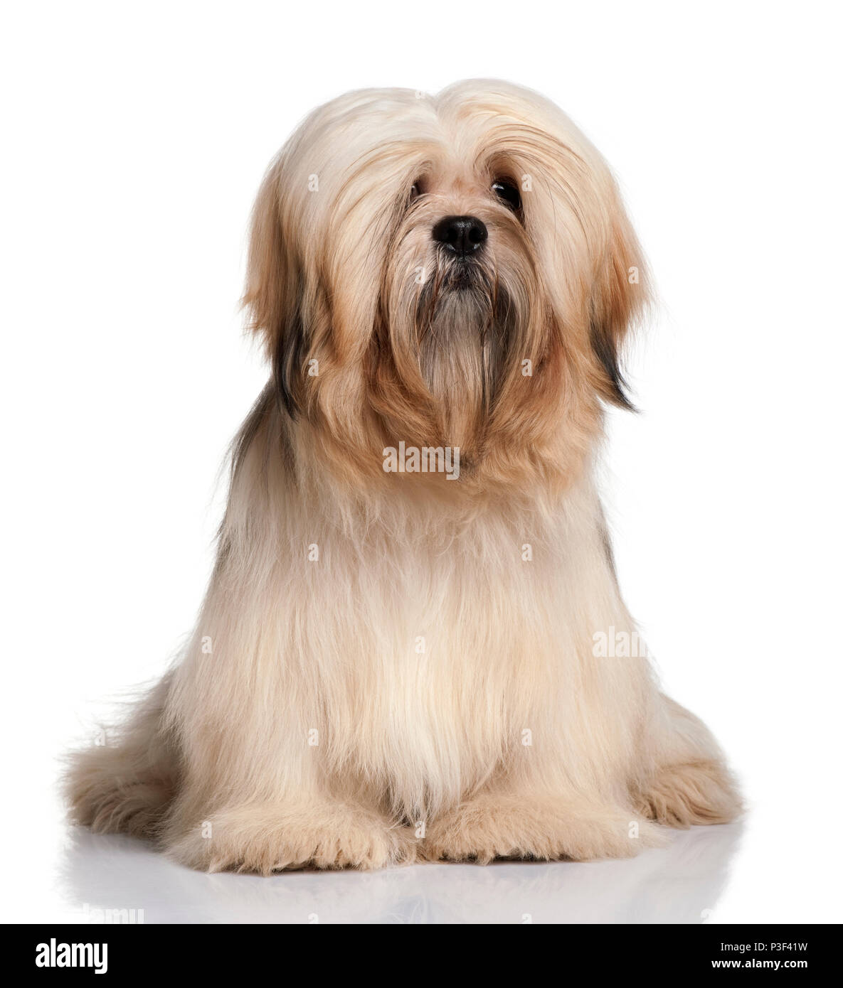 Lhassa Apso, 9 months old, sitting in front of white background - Stock Image
