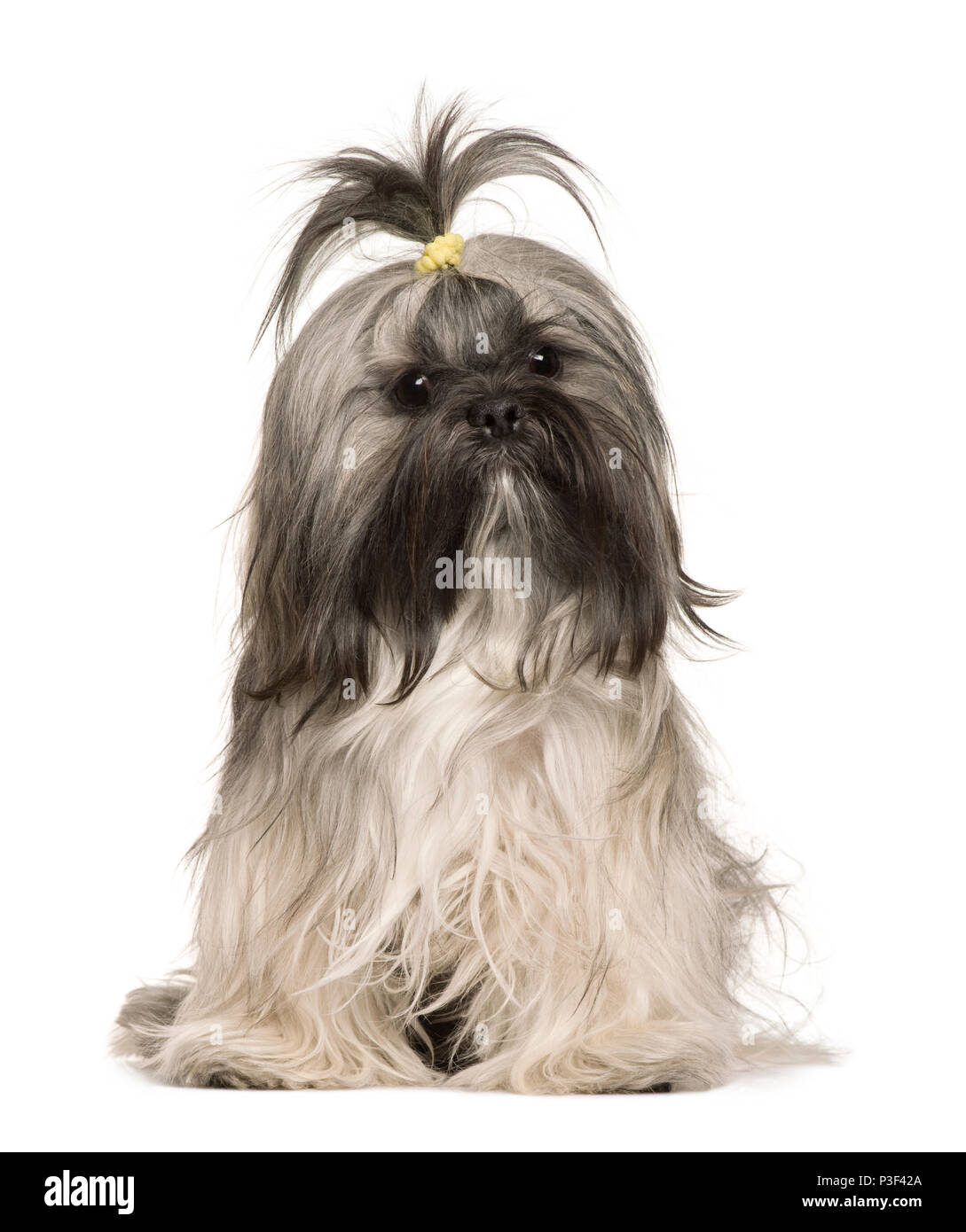 Lhasa Apso, 1 year old, sitting in front of white background - Stock Image