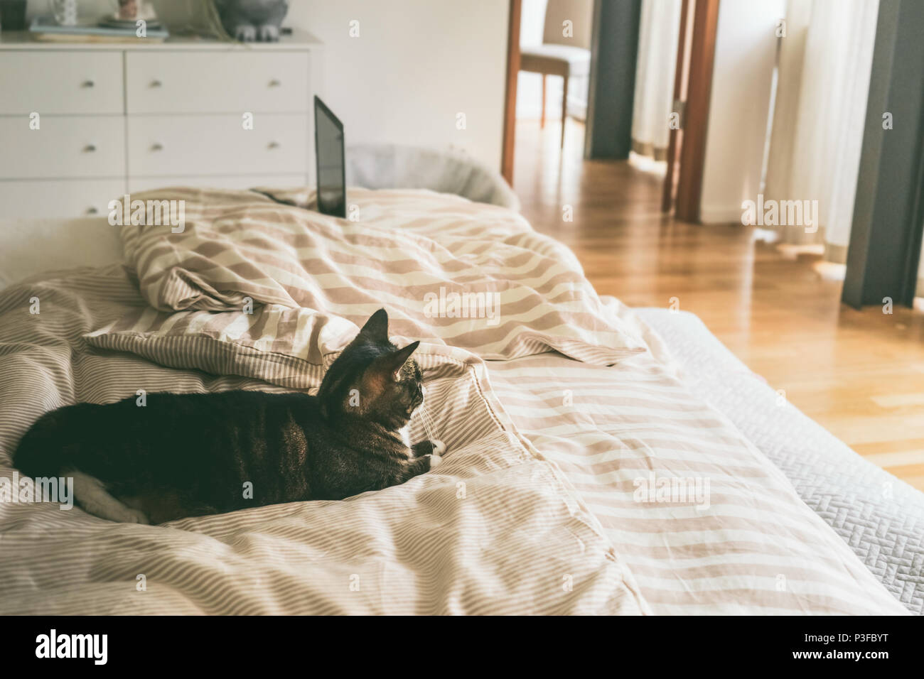 cat lies in bed in bedroom with large window. House still life. Cozy home scene - Stock Image