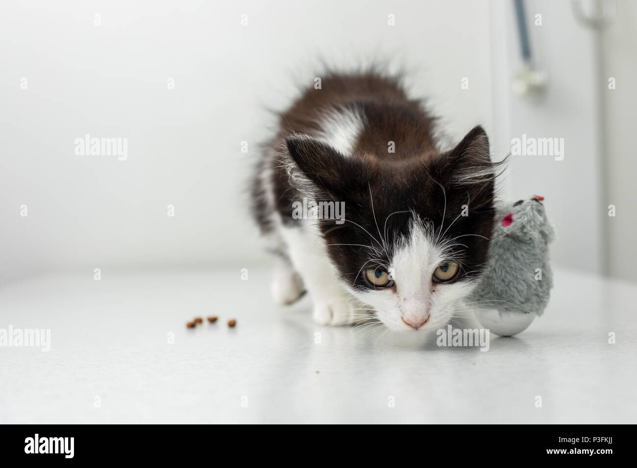 Little kitten at a veterinary clinic. Doctor and cat - Stock Image
