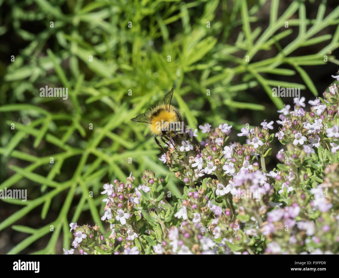 A close up of a buff tailed bumble bee feeding on thyme flowers - Stock Image