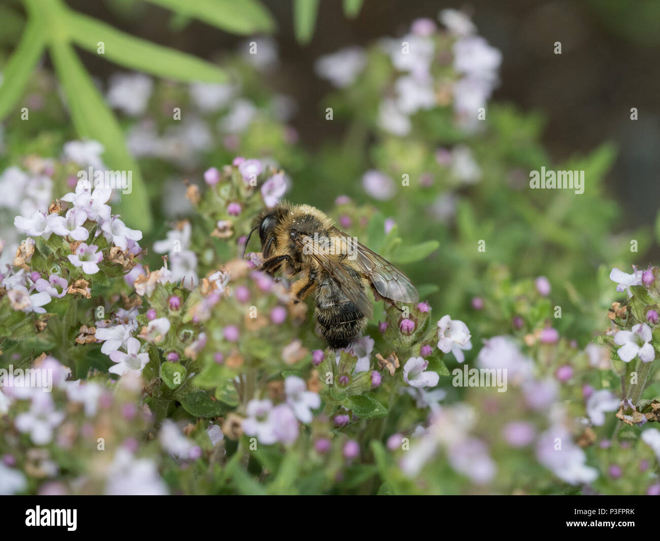 A close up of a communal mining bee feeding on thyme flowers - Stock Image
