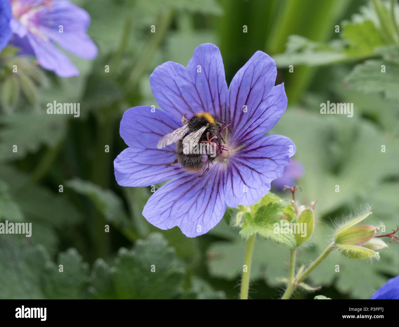 An early bumble bee feeding on a single blue geranium flower - Stock Image