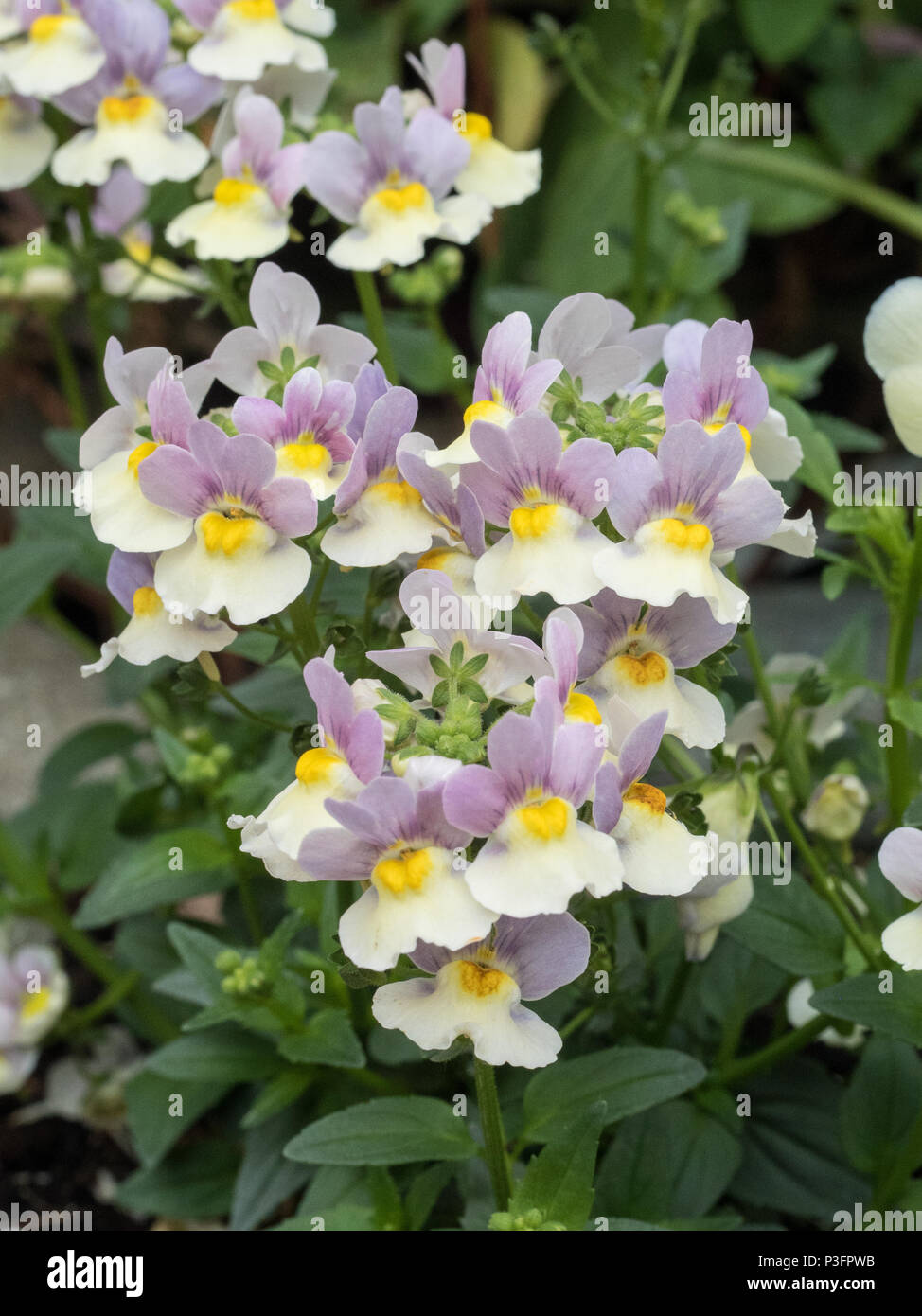 A group of the lavender and cream flowers of Nemesia Bicolor Stock Photo