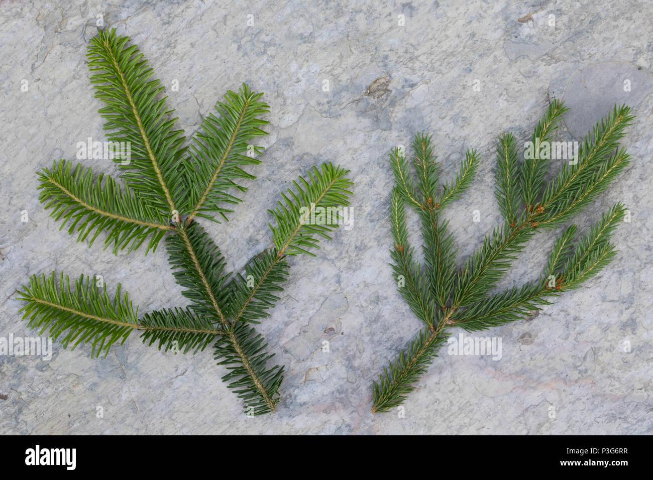 Vergleich Fichte (rechts), Weißtanne (links). Gewöhnliche Fichte, Fichte, Rot-Fichte, Rotfichte, Picea abies, Common Spruce, Spruce, Norway spruce, L' - Stock Image
