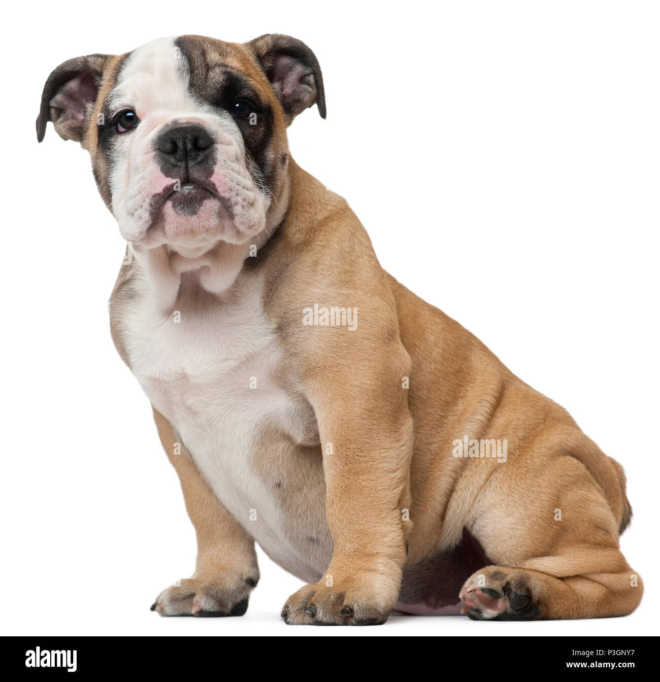 English Bulldog Puppy 11 Weeks Old Sitting In Front Of White