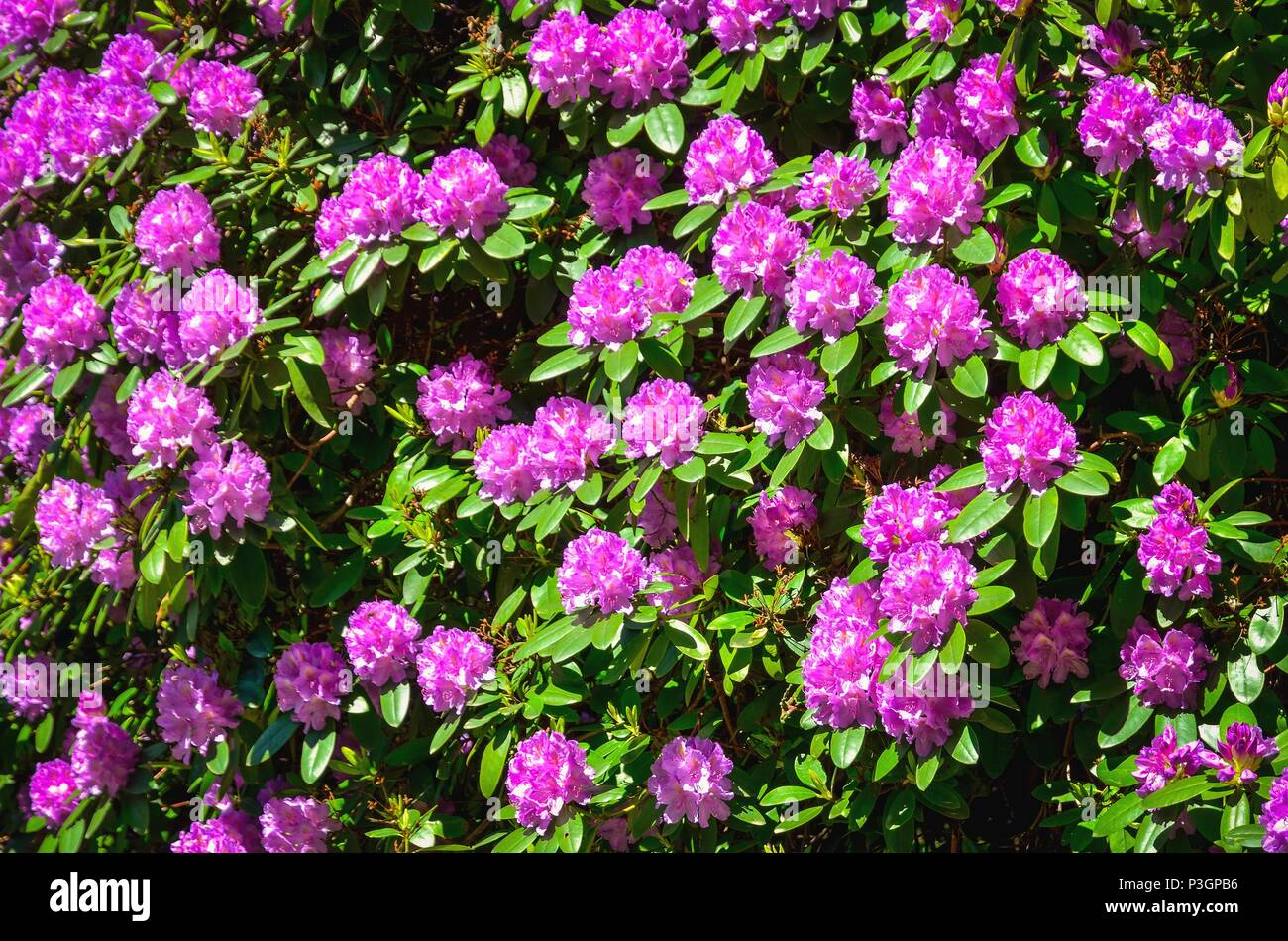 Spring natural background. Beautiful blooming rhododendrons in the park. - Stock Image