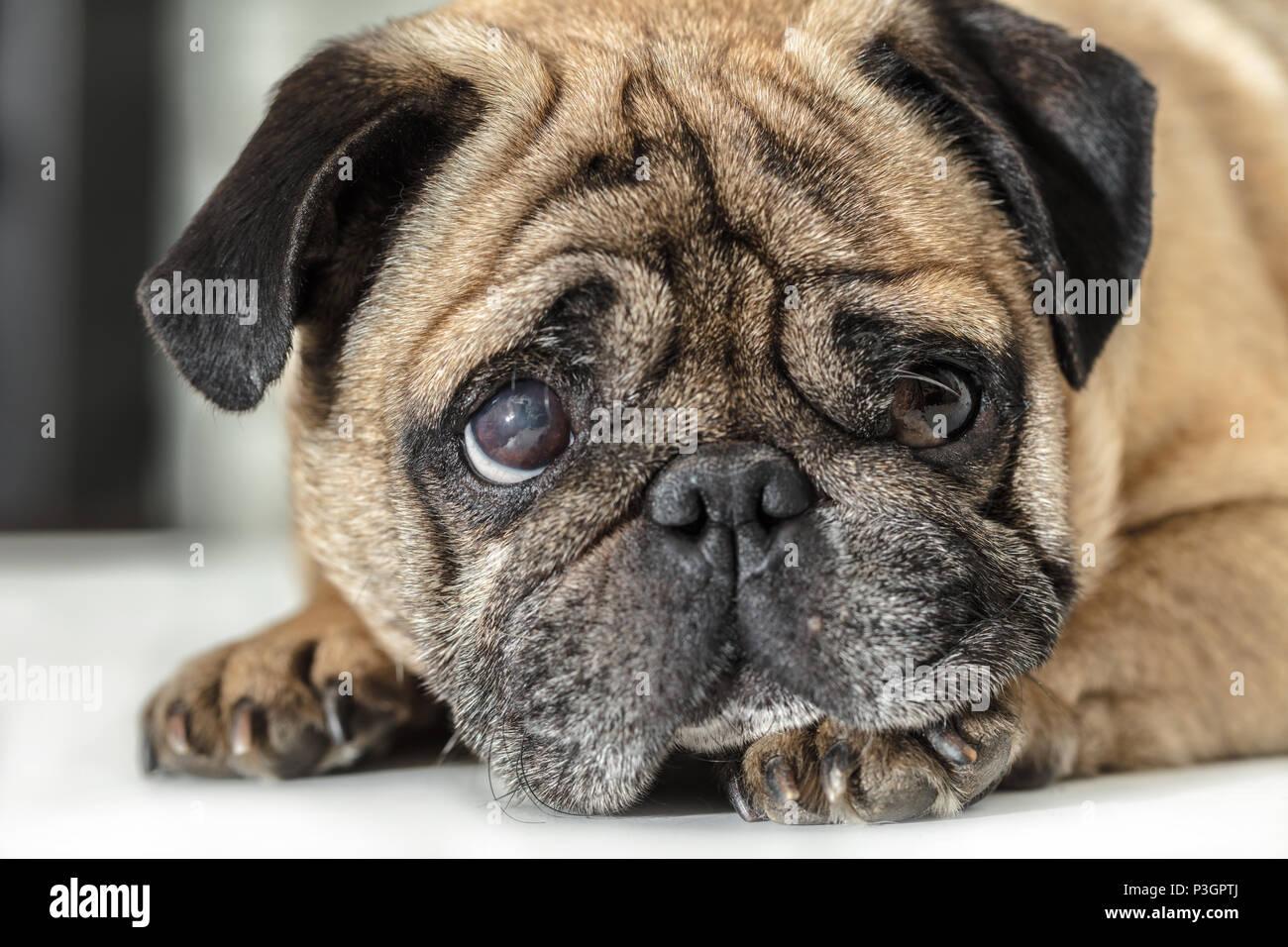 Pug dog lying close-up on a white background - Stock Image