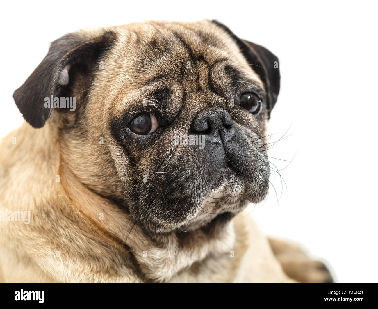 portrait of a pug close-up on white background - Stock Image