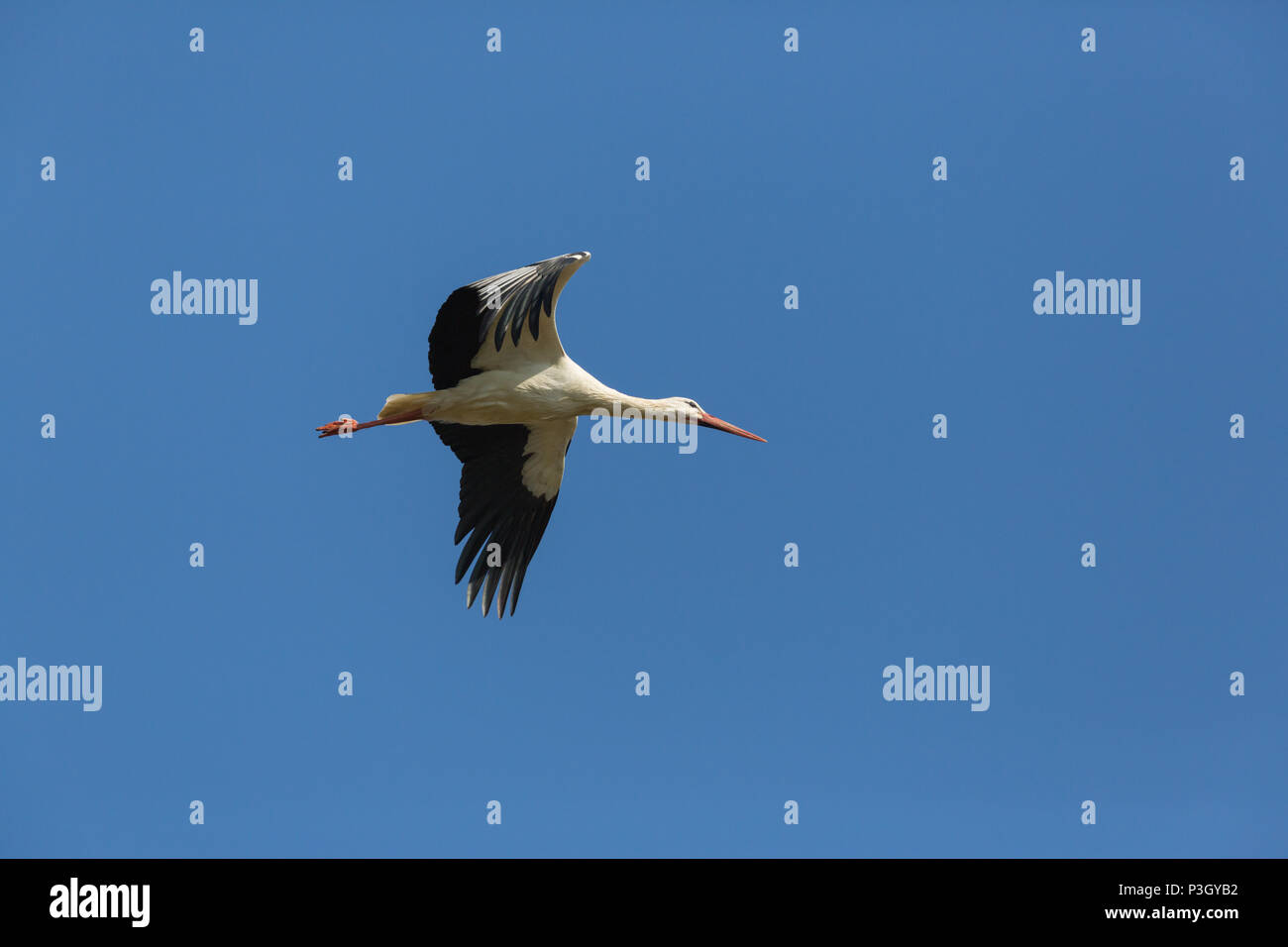 one natural white stork (ciconia ciconia) flying in blue sky Stock Photo