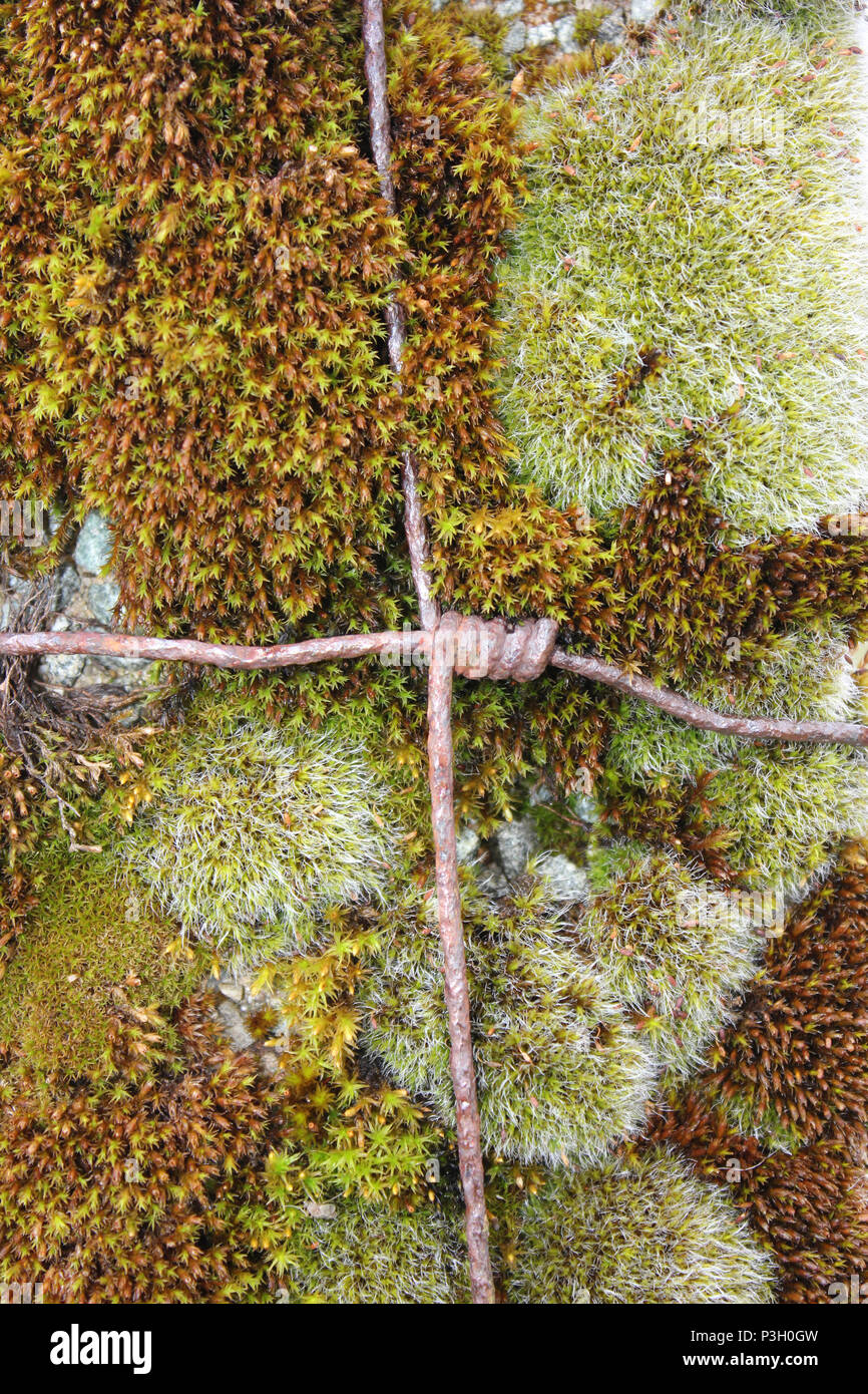 Rusty wire crossing mosses on a fence post - Stock Image