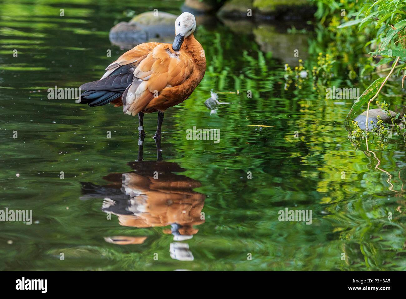 Ruddy shellduck. Animal. Bird - Stock Image