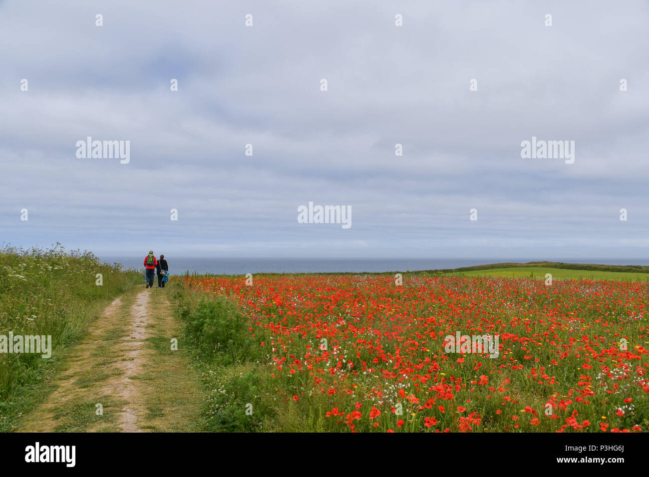 Crantock, Cornwall, UK. 19th June 2018. UK Weather. A warm, if cloudy day in North Cornwall. Seen here the West Pentire Arable Fields project. This area is managed specifically as a nature reserve. At this time of the year the fields are full of poppies and cornflowers. In the air is the constant sound of Skylarks. The scheme is managed by Natural England, their farm tenants and the national trust. Credit: Simon Maycock/Alamy Live News - Stock Image