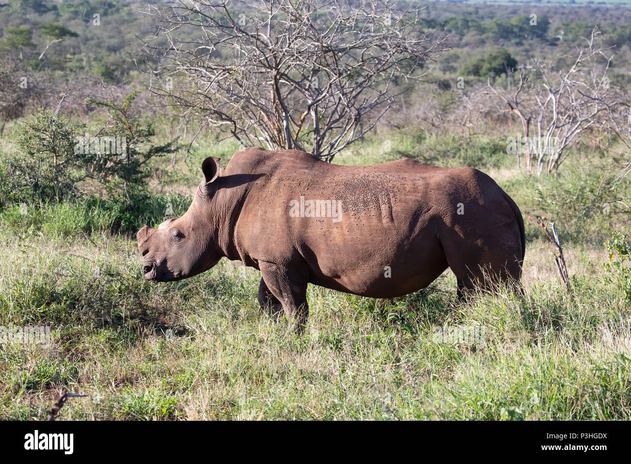 De-horned white rhinoceros Ceratotherium simum roaming in the South African bush - Stock Image