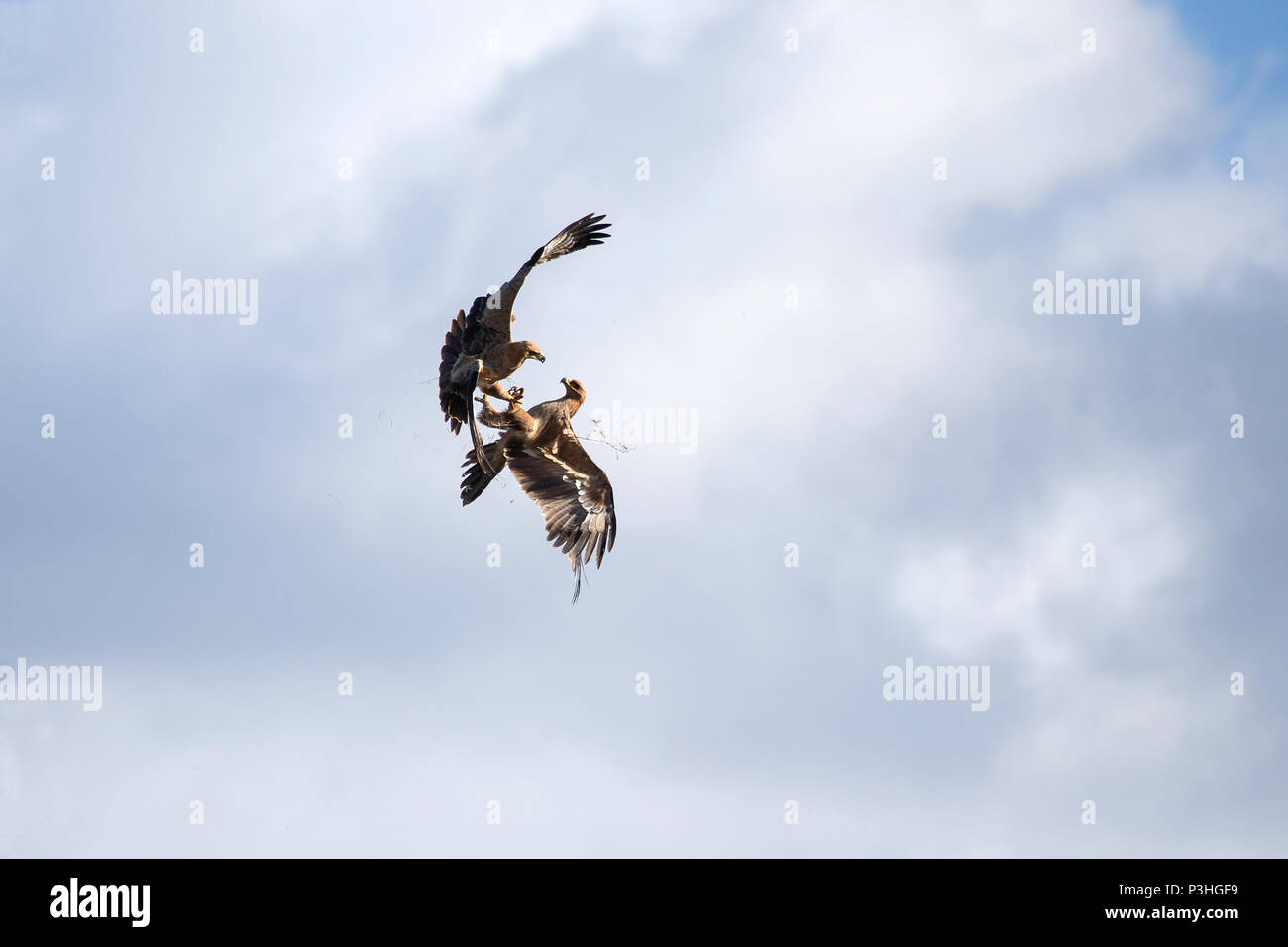 Two Tawny Eagles Aquila rapax in aerial dispute - Stock Image