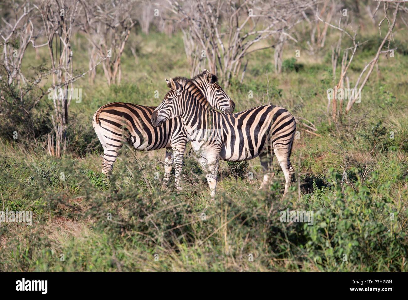 A pair of adult Zebra Equus burchellii / quagga in thick scrub in  Northern KwaZulu-Natal, South Africa - Stock Image