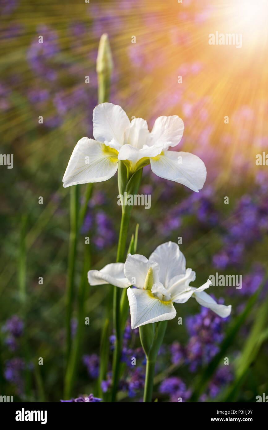 White Iris Flowers Macro On Natural Green Background Beautiful Iris