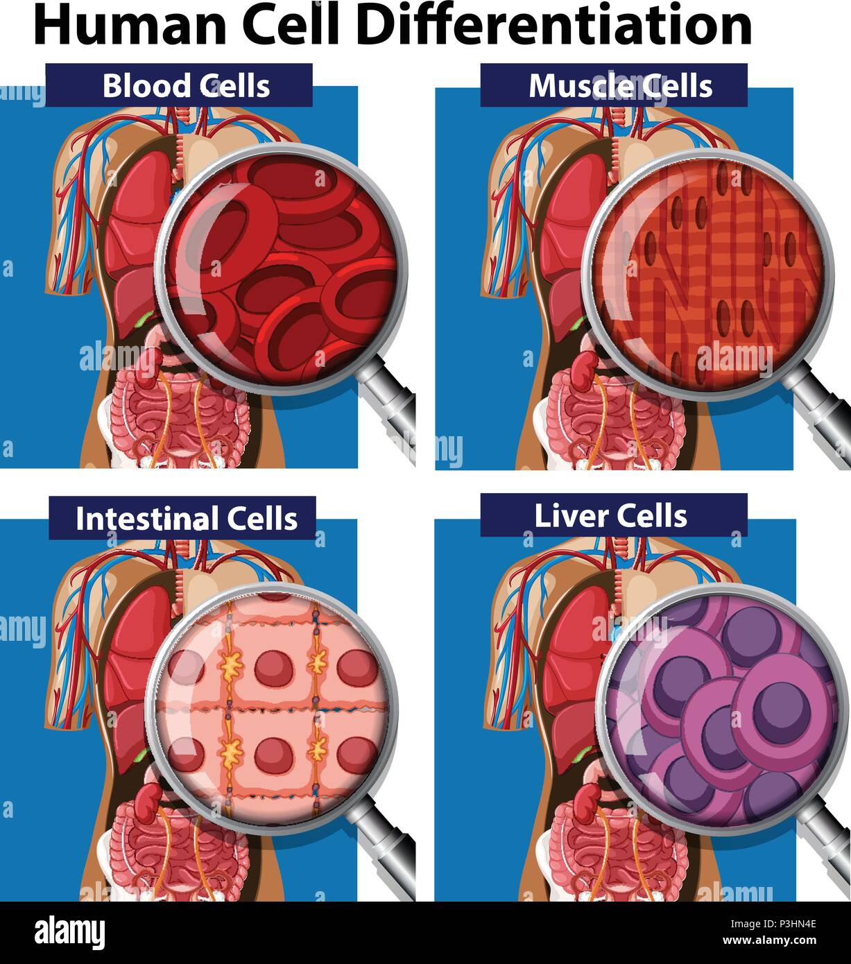 A Set Of Human Cell Differentiation Illustration Stock Vector Art
