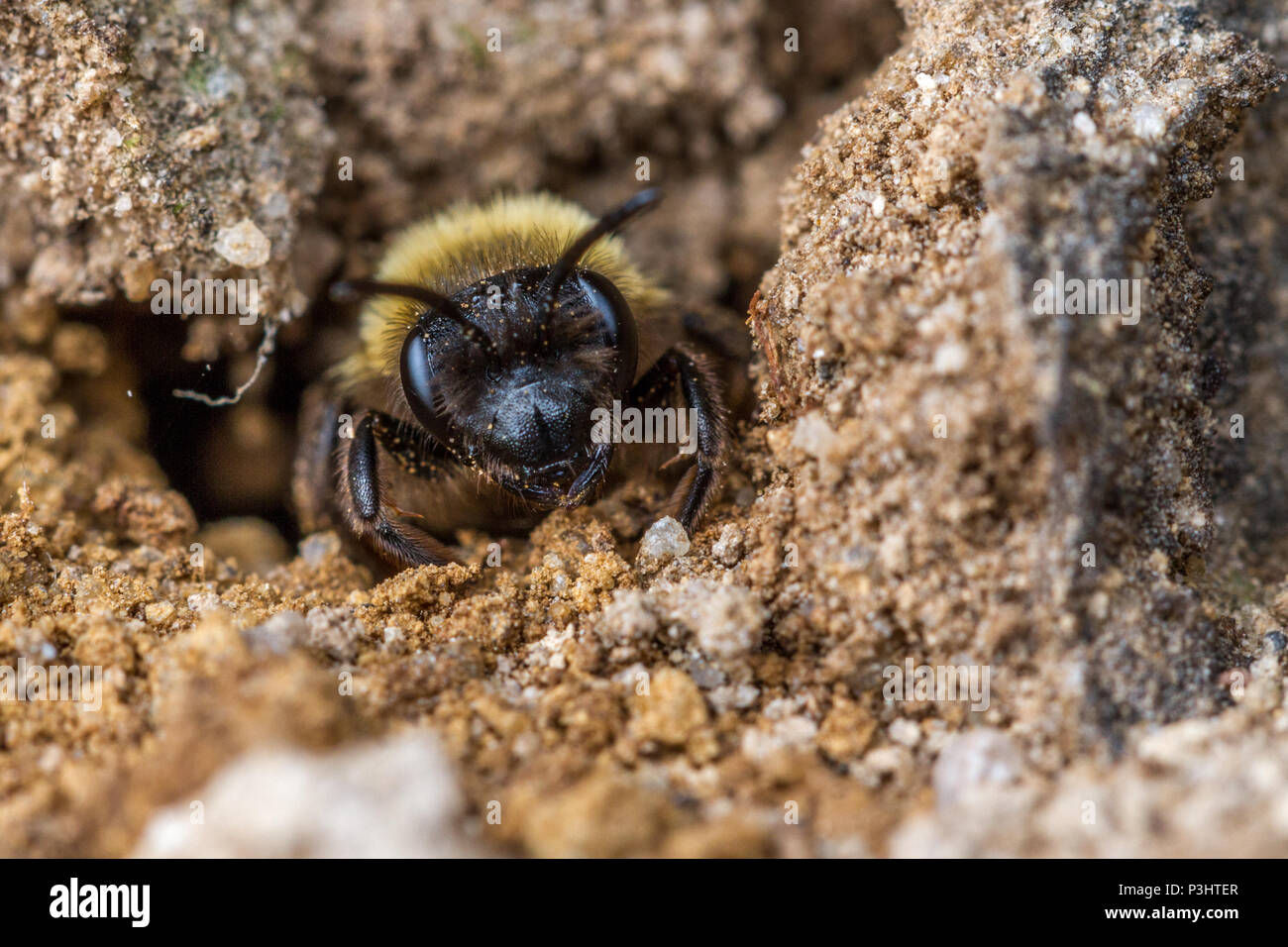 UK wildlife: chocolate mining bee (Andrena scotica) at the entrance to a sandy tunnel nest - Stock Image