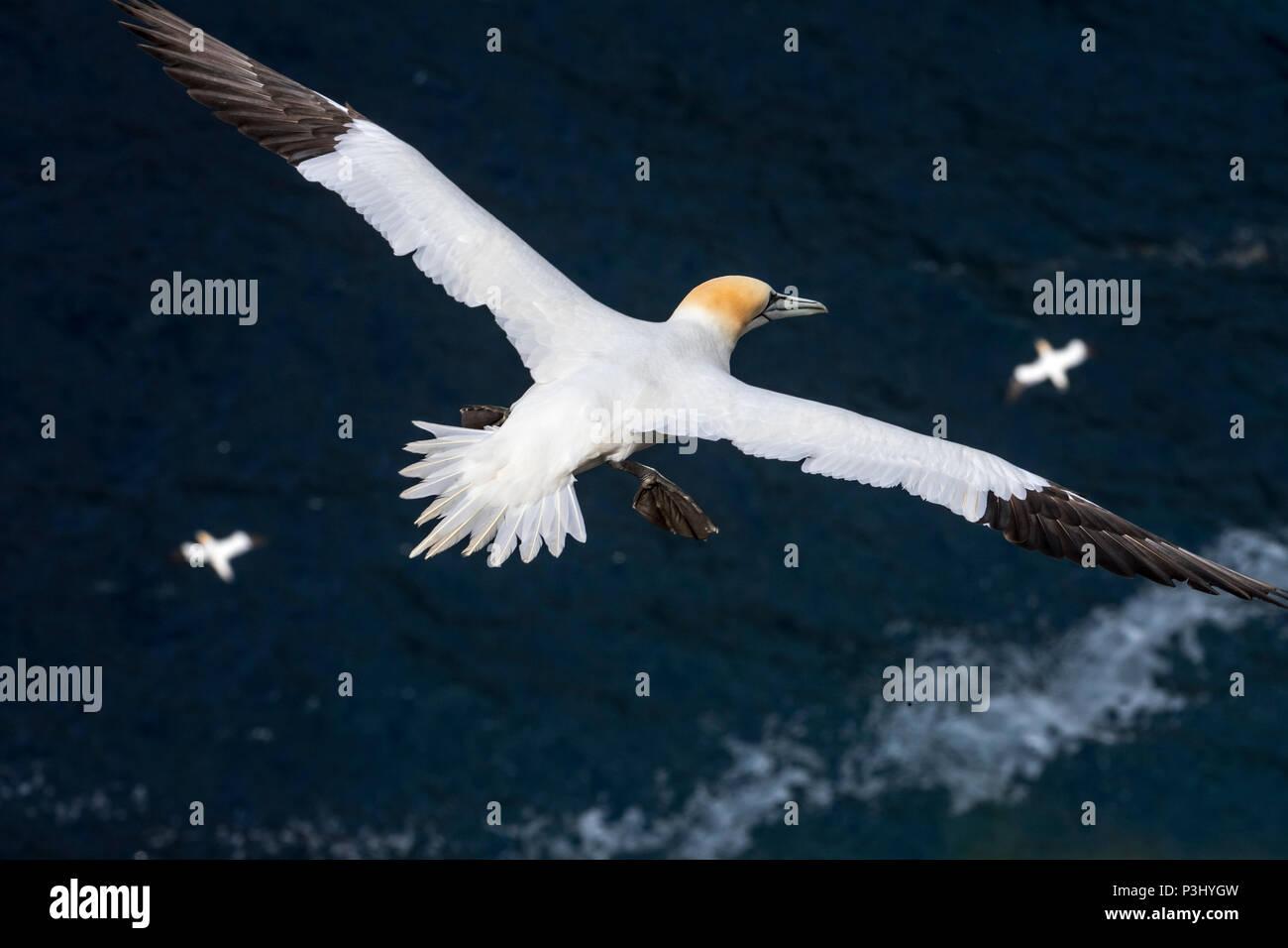 Northern gannets (Morus bassanus) in flight soaring over water of the Atlantic Ocean - Stock Image